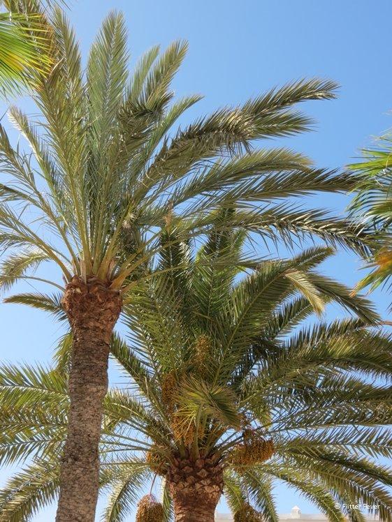 Palmtrees at Dunas de Maspalomas