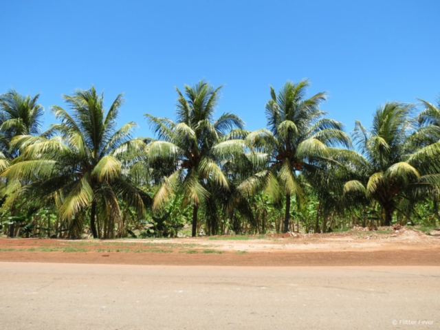 Palm trees next to the road Cuba