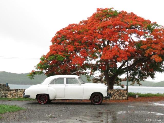 White oldtimer & orange tree @ Cuba
