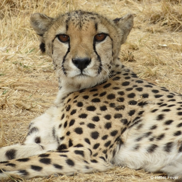 Cheetah Conservation Fund @ Otjiwarongo, Namibia