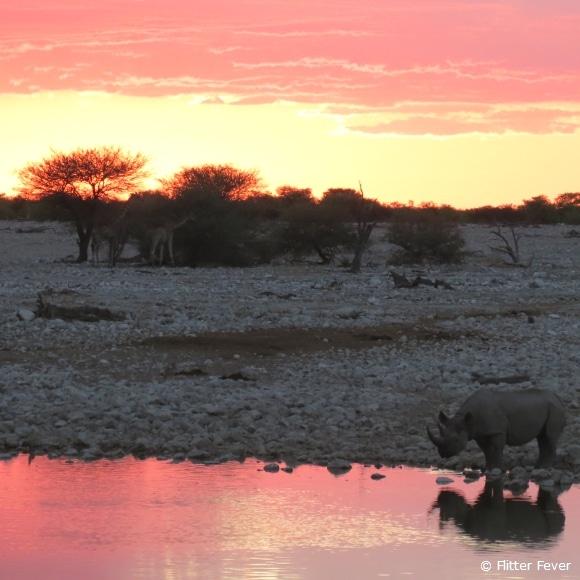 Rhino & giraffes @ Okaukuejo, Etosha NP, Namibia
