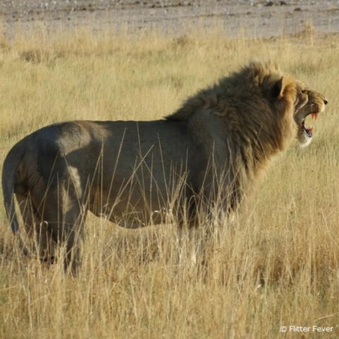 Lion @ Etosha National Park, Namibia