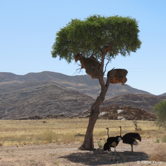The Ostrich Family @ Naukluft NP, Namibia