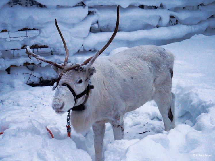 Cute reindeer in the snow