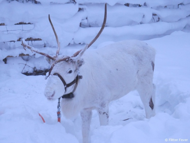 White reinder at the entrance of Wolverine Fell reindeer farm