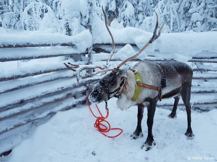 Reindeer in Finnish Lapland