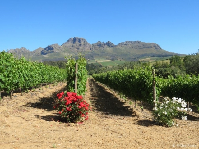 Somewhere along the winery route in Stellenbosch