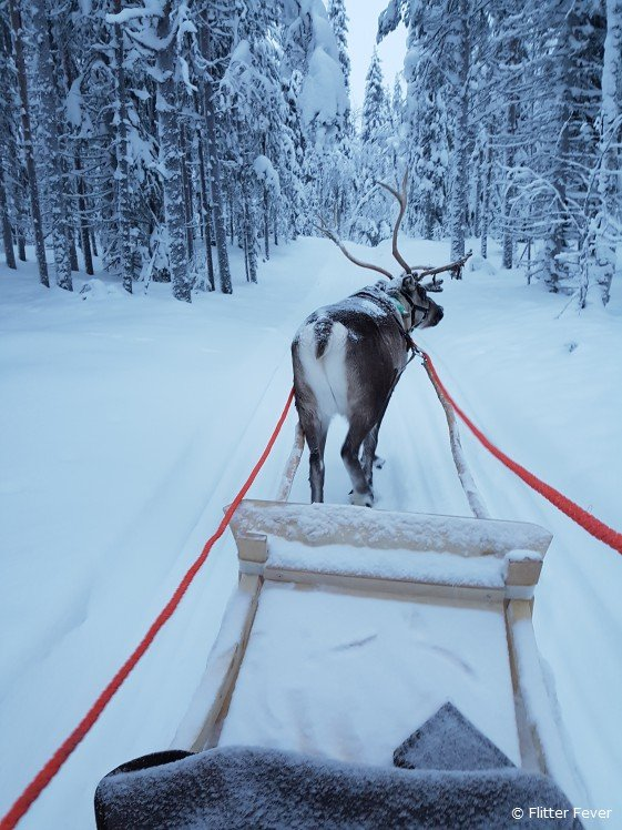 Reindeer in front of a sleigh in snow landscape