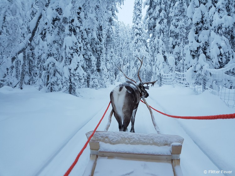With reindeer Tornado in the snowy forest of Kittilä