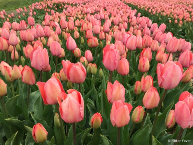 Go in April to see the Tulips in The Netherlands