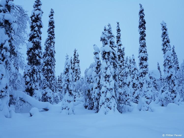 Threes full of snow at Yllas-Pallas National Park