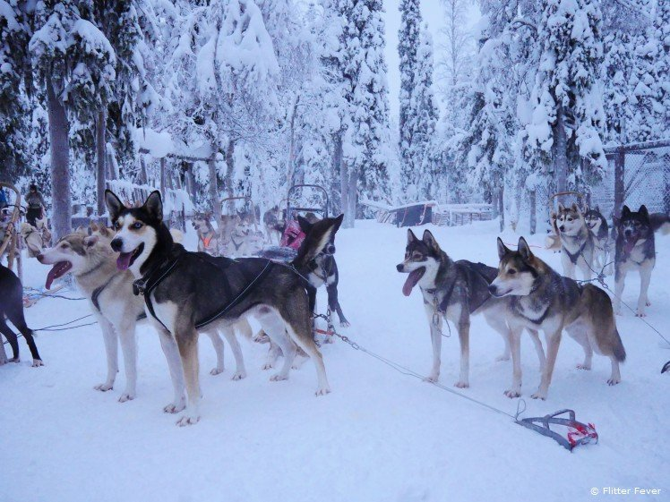 Husky dogs ready to pull the sledge in Finnish Lapland