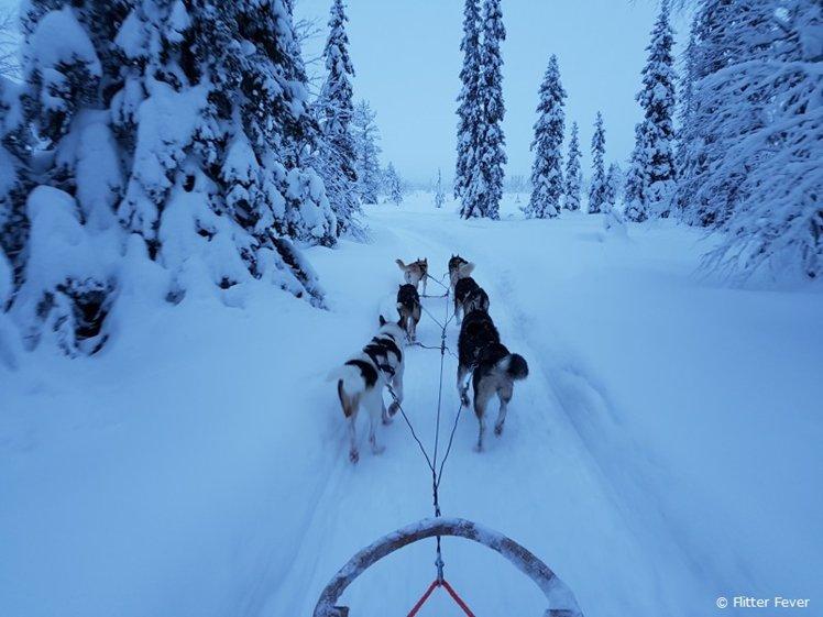 Husky sleigh ride in the snow Finnish Lapland