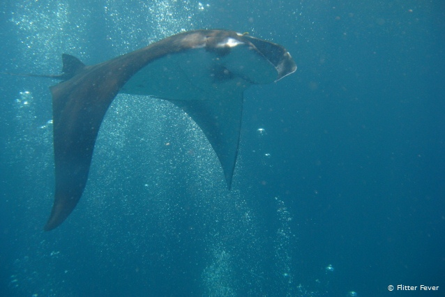 Manta ray sliding through the water @ Nusa Penida, Bali