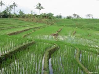 Rice fields up close @ Bali