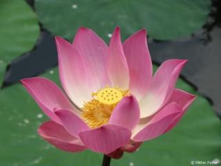 Lotus flower @ Taman Kemuda Saraswatiin Ubud
