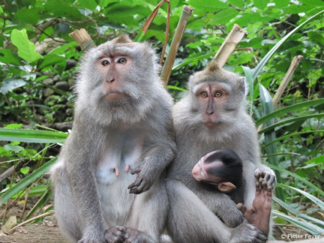 Monkey family @ Monkey Forest in Ubud