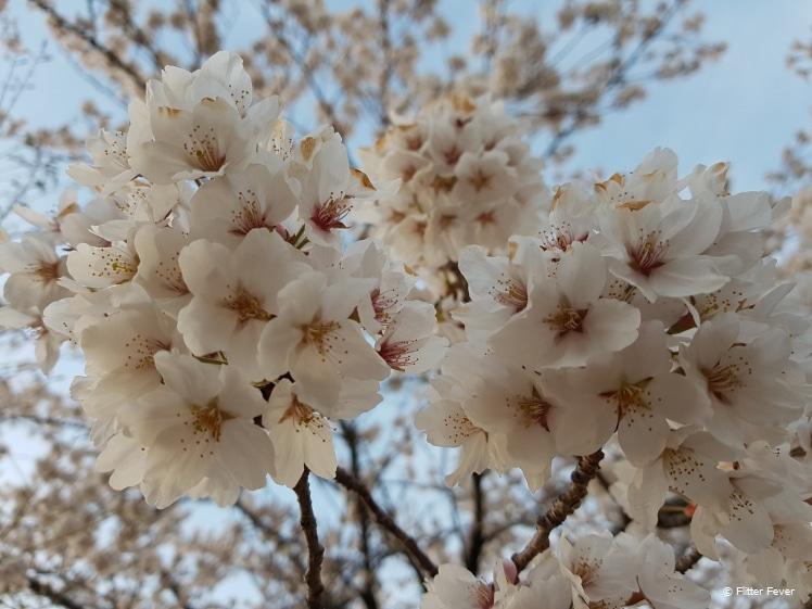 Prachtige witte bloesem Matsumoto