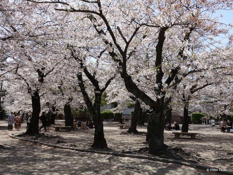 Sakura vieren @ het kasteel van Matsumoto