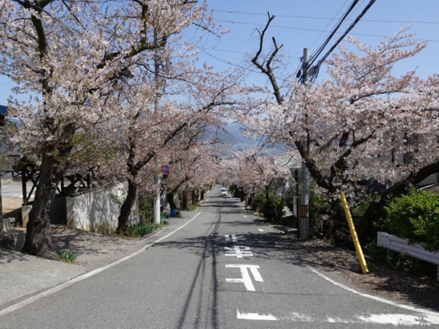 Blossom trees lined up in a residential area of Matsumoto, Japan
