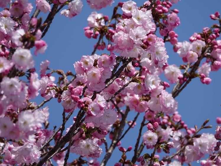 Roze bloesem sakura Matsumoto