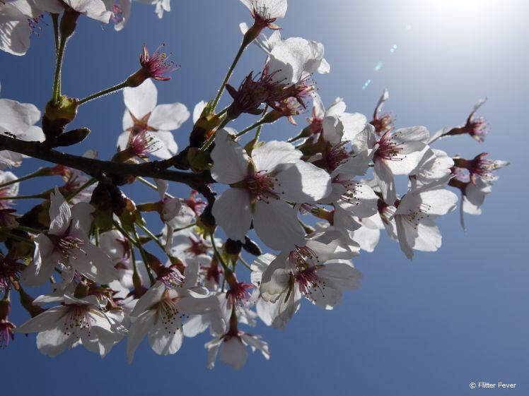 Bloesem in de zon in Matsumoto