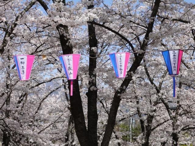 Lampoons & blossom @ Joyama Park, Japan