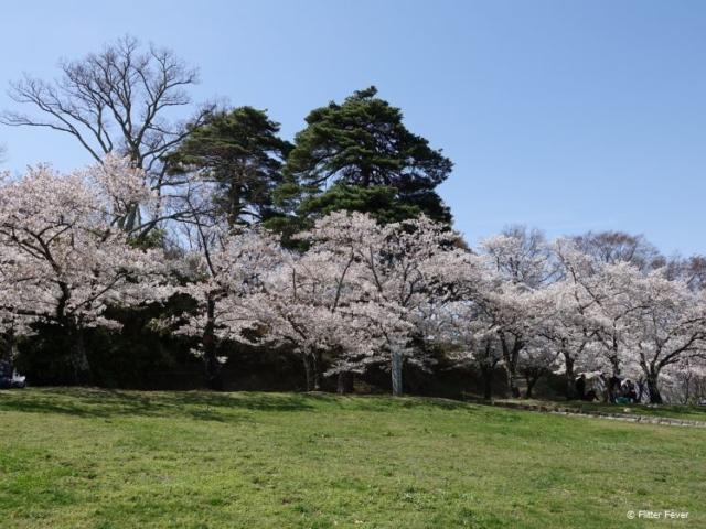 Gorgeous line of blossom trees @ Joyama Park, Matsumoto, Japan