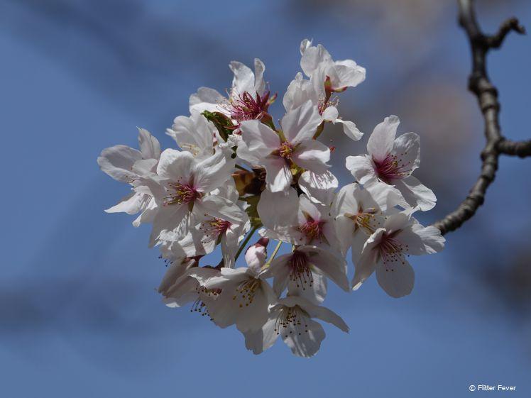 Matsumoto wit-roze kersenbloesem van dichtbij Japan