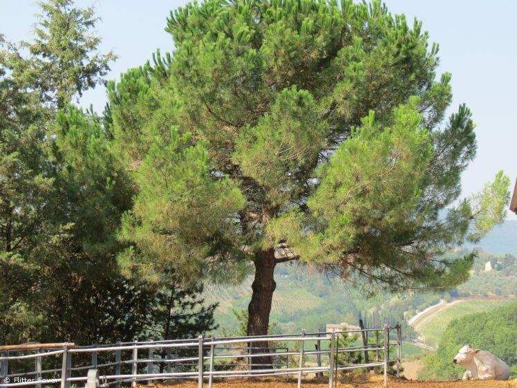 Fattoria Poggio Alloro tree and white cow