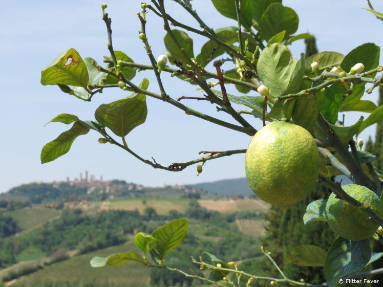 Lemon tree at Fattorio Poggio Alloro