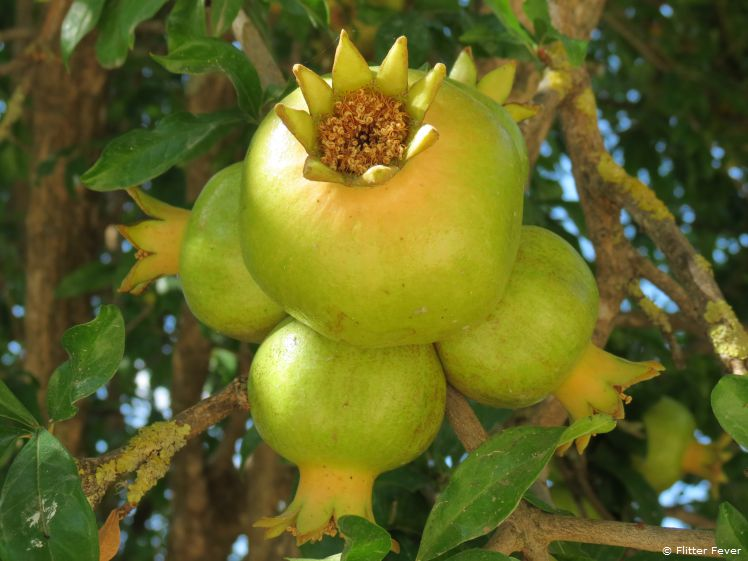 Pomegranates grow at this fantastic agriturismo
