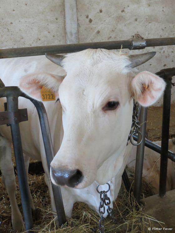 The dairy farm of Fattoria Poggio Alloro can be visited