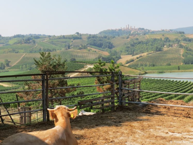 This cow as an awesome view to San Gimignano, Tuscany