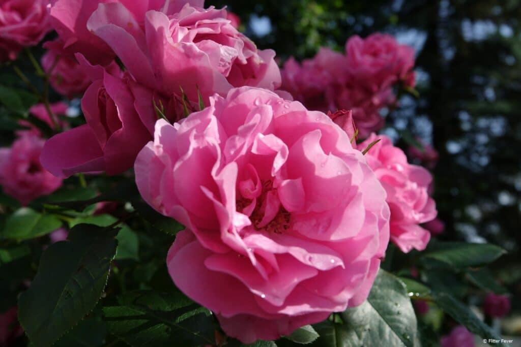 Pink roses at Weingut Seiner