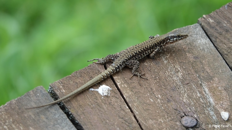 Salamanders also walk the wooden planks path of Strback buk, NP Una