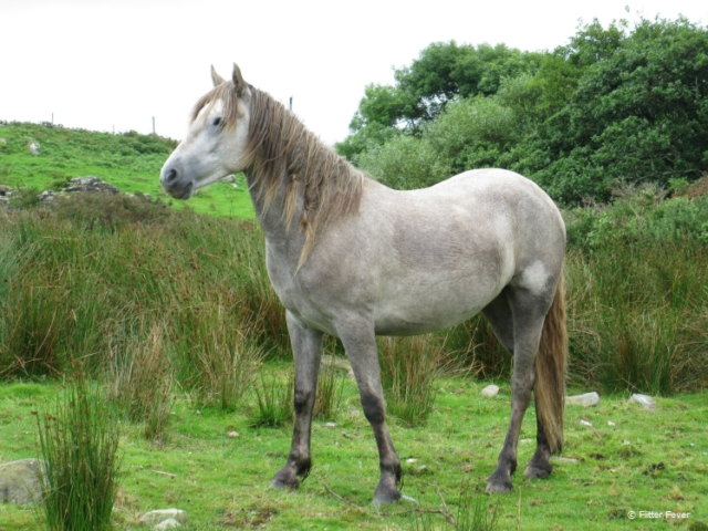 Beautiful horse in typical green Irish landscape