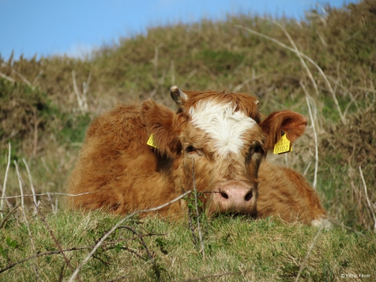 Cute cow in Connemara