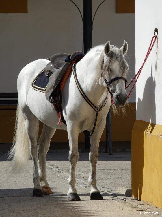 Andalusisch paard wordt gereed gemaakt voor de show