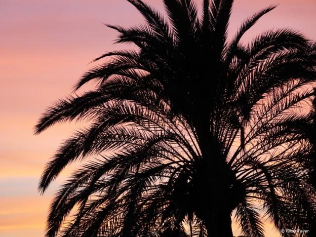 Palm tree at sunset in Jerez de la Frontera