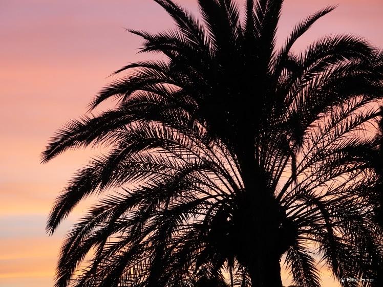 Palmboom bij zonsondergang in Jerez
