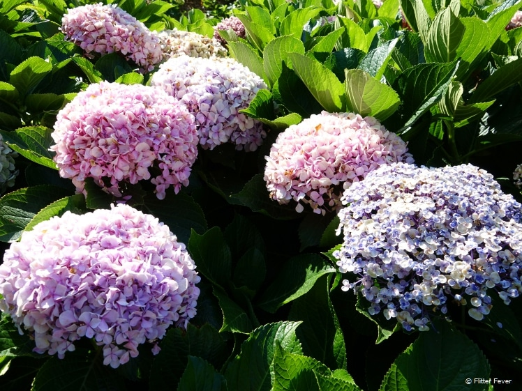 Pink and lilac hydrangeas