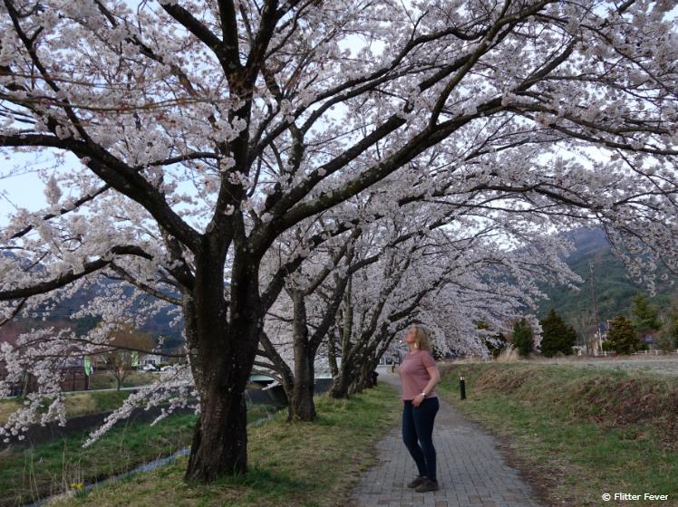 Beautiful blossom trees near Kawaguchiko Music Forest Museum