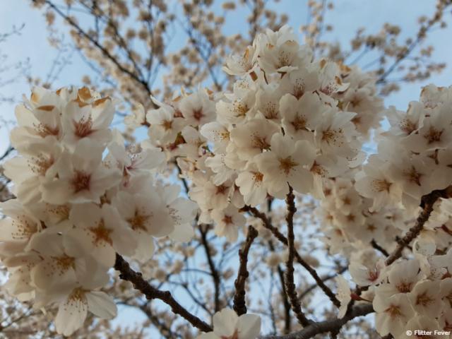 Gorgeous white blossom at Lake Kawagochiko