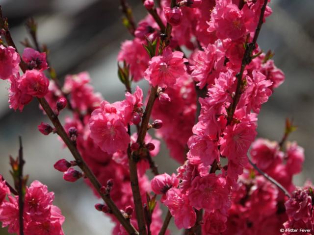 Pink flowers near Mt. Fuji
