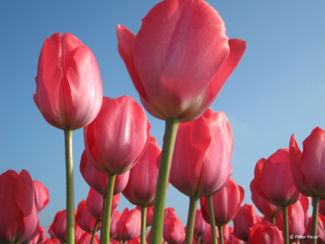 Tulips are an important export product for the Netherlands