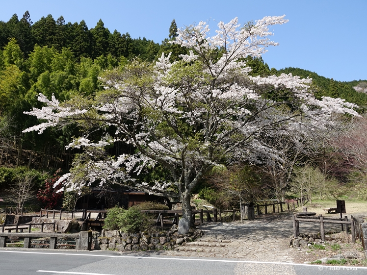 Gorgeous blossom tree at the Nakasendo Trail