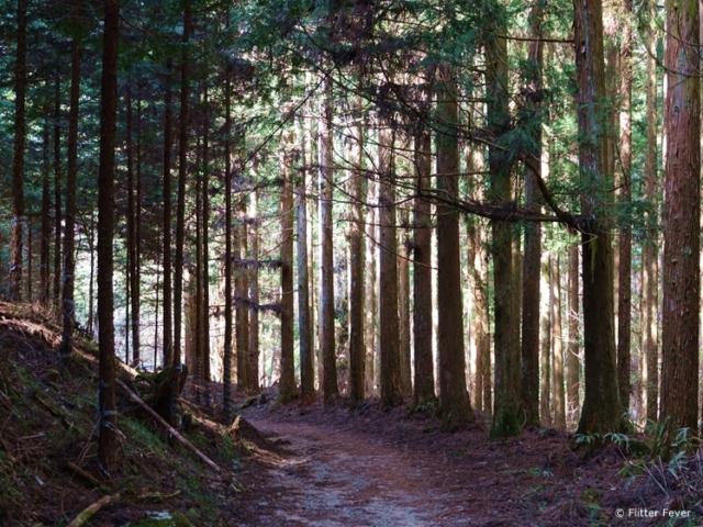 Nakasendo Trail tall trees