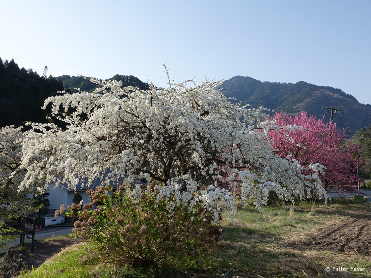 Spring in Japanese countryside with all kinds of blossom trees