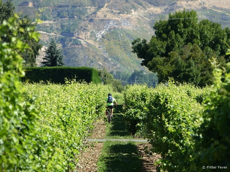 Cyclist in the vineyard